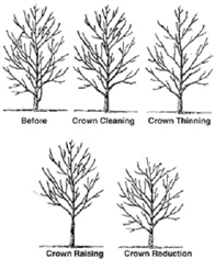 How to prune a tree - Mumby's Tree Services