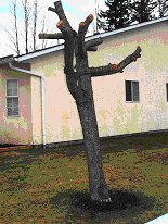 Improper pruning (topping) of trees can be dangerous. Call an ISA Certified Arborist like Mumby's Tree Services.